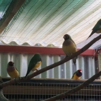 Gouldians for sale