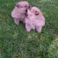 Pomerians female puppies for sale