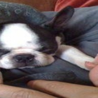 The most beautifull small sized boston terrier puppies for sale