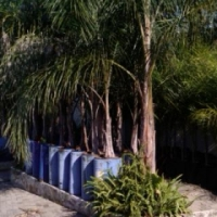 Beautiful Queen Palm Trees Hardy