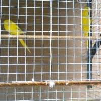 yellow ringnecks for sale
