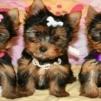 pocket size Yorkie for sale