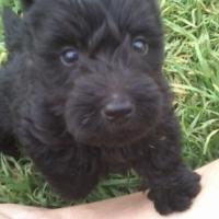 Black/Brindle Scottish Terrier Puppies