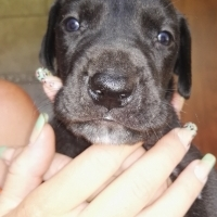 Great Dane puppies for sale!!!