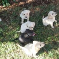 Labrador Puppies for Sale in Pretoria