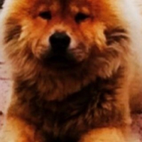 Male Chinese chow chow