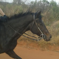 Childs horse. Appaloosa/Thoroughbred Mare, Registered