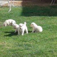 swiss shepard cross huskey puppies