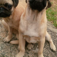 Pure Bred Fawn Pug Male Pups For Sale