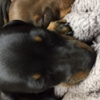 Male miniature Daschund Puppy - Black and tan - 8 weeks old