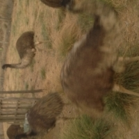 1 year old emu for sale