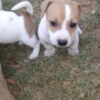 Jack Russel puppies te koop