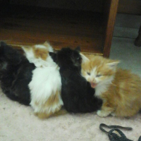 Long haired Ragdoll kittens for sale