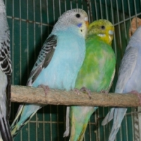 Young Budgies available
