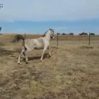 selling my Arabian Stallion