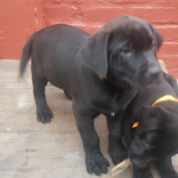 Black Labrador x puppies