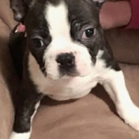 Adorable Boston Terrier Puppies!