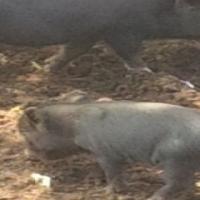 potbelly piglets