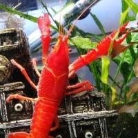 Lobsters Neon Orange & Ghost White