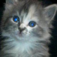 Beautiful Maincoons Kittens