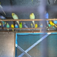 Magnificent Budgies of all colours