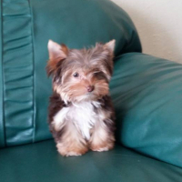 Beautiful Yorkies available in assorted Colours!