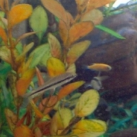Danios, Endlers and Siamese Algae Eaters for sale