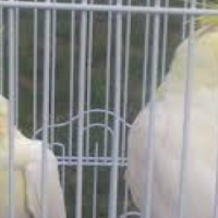 pair of tamed Lutino Cockatiel ready oh