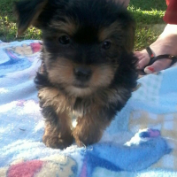 4 x Male tea cup Yorkie's for sale