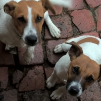 Jack russels for sale one male and one female 6 months old