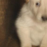 White German Shepherd puppy.