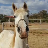Pure bred Arabian gelding