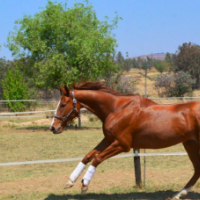 Sweet and loving TB chestnut mare for sale