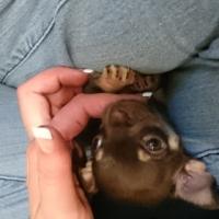 Pure bred teacup Chihuahua