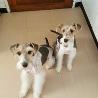 Wire haired terrier (female)