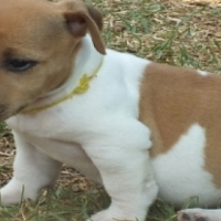 REGISTERED Jack Russell puppies.