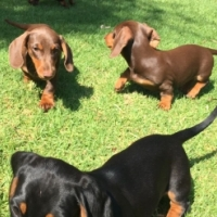 Miniature Dachshund puppy (worshondjie / worsie) for sale!