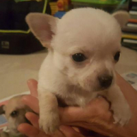 Full Chihuahua Puppies For Sale