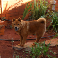 Male Chow Chow 5 months old @ R950.00 contact 0746910290