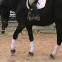 8 years old friesian Gelding
