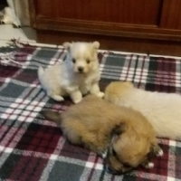 toypom cross yoranian puppies