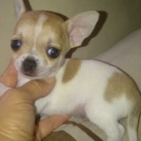 Very cute Chihuahua puppies available