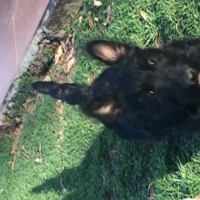 Scottish Terrier puppy for sale