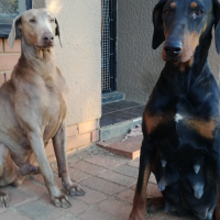 Doberman Large pure breed