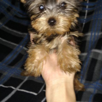 Teacup yorkie puppies for sale.