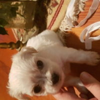 Pure bred Maltese Puppies