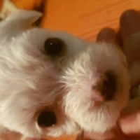 Cutest Maltese Puppies for sale