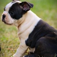 Opregte Boston Terrier tefie te koop