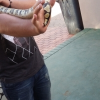 ball phython