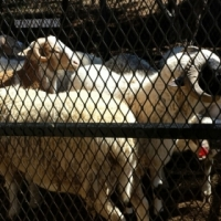 Damara/Meatmaster Rams For Sale